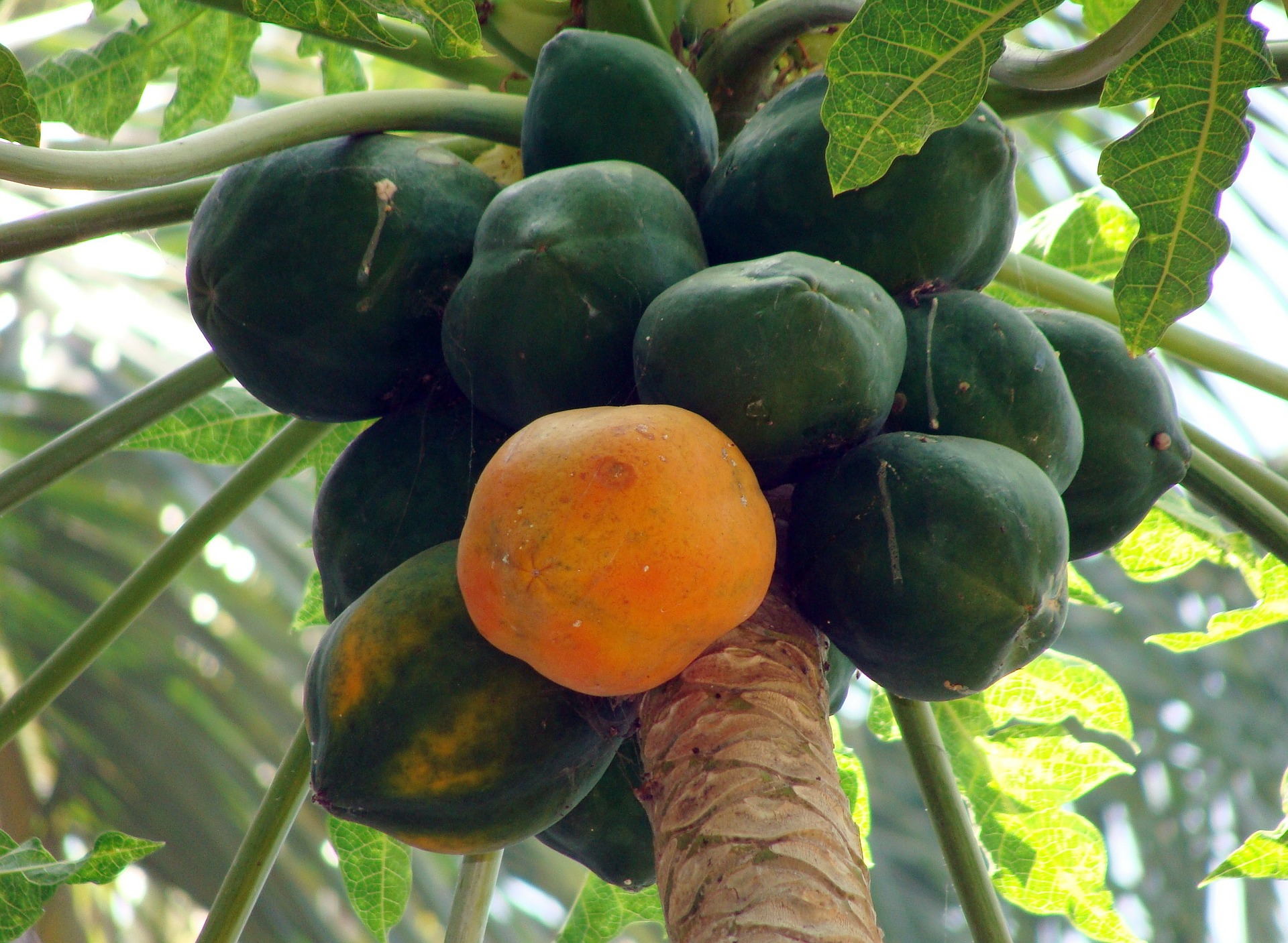 GMO papaya orchards