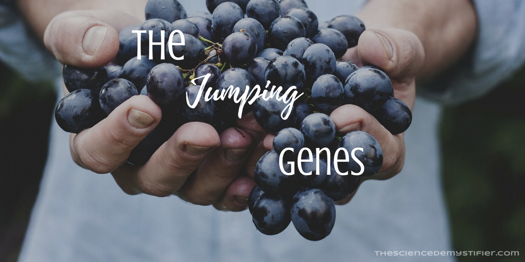 Grapes are GMOs crafted by Nature