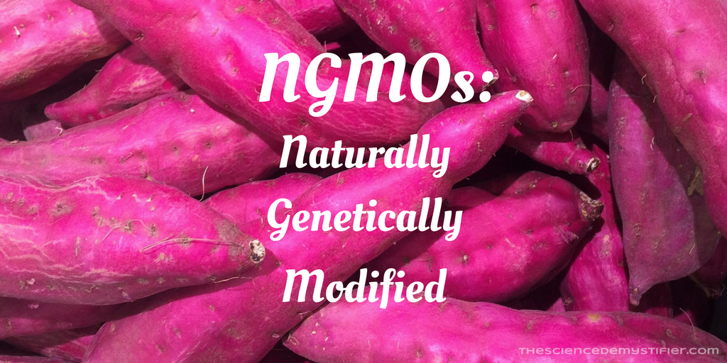 Natural GMO sweet potatoes